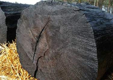 bog-oak